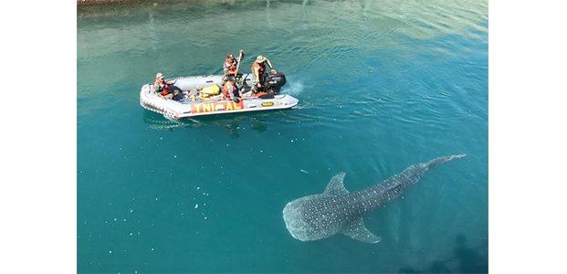 3 Minggu Terjebak di Kolam Inlet PLTU Paiton, Ikan Hiu Macan Berhasil Dievakuasi