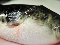 Diduga Keracunan Ikan Buntal, 4 Remaja di Lumajang Tewas