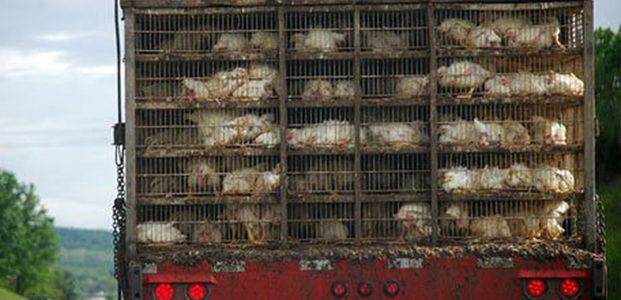 Seharusnya, Ada Aturan Soal Angkutan Hewan Ternak