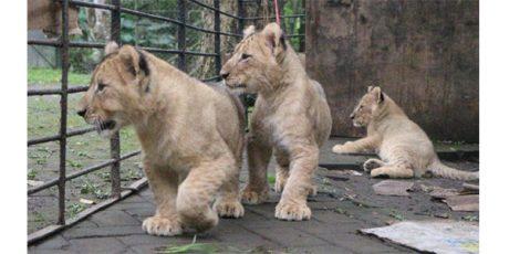Asyik Berfoto, Siswi TK asal Kediri Diterkam Anak Harimau di Jatim Park 2