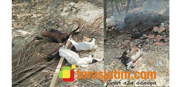 Berniat Usir Kutu, 10 Ekor Kambing Milik Warga Brangkal Pacitan Hangus Terbakar