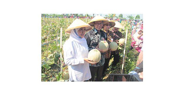 Bersama Petani, Gubernur Jatim Ikut Panen Melon di Desa Klotok Tuban