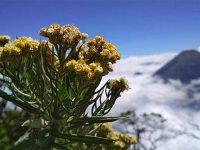 Dibabat Warga, Populasi Flora Langka di TN Bromo Tengger Semeru Terancam Punah
