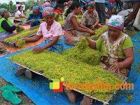 Harga Tembakau Tinggi, Petani di Bojonegoro Semangat