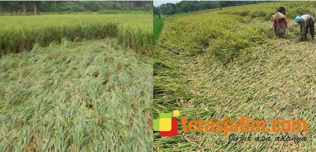 Hujan dan Angin Kencang Melanda Situbondo, Puluhan Hektar Padi Rusak