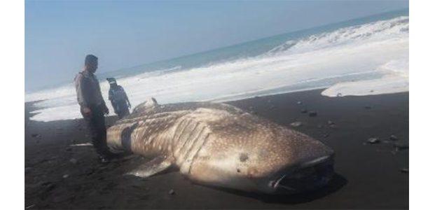 Ikan Paus Tutul Terdampar di Pantai Pasirian Lumajang