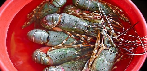 Penangkapan Benih Lobster Marak di Banyuwangi