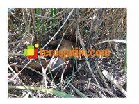 Mayat Pria Bertato Ditemukan Membusuk di Ladang Tebu