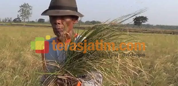Puso,  Petani Lamongan Bakar Tanaman Padi