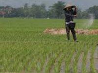 Berpacu Dengan Banjir, Petani Areal 'Gupuh' Garap Lahan