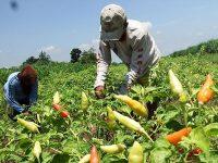 Petani Cabai di Bojonegoro Raup Berkah, Petani Tembakau Penuh Harap