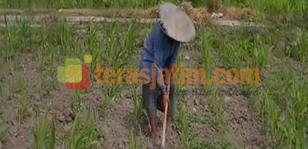 Petani Resah Dengan Langkanya Pupuk