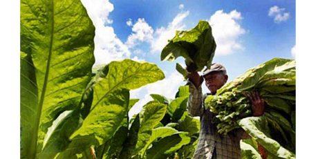 Petani Tembakau di Grogol dan Banyakan Kediri Siap Panen