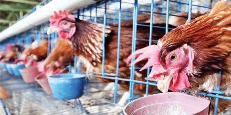 Peternak Ayam Petelur Boikot Pakan, Agen Pakan Pabrikan di Blitar Merugi