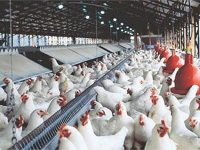 Polda Jatim Akan Selidiki Broker Ayam yang Rugikan Peternak