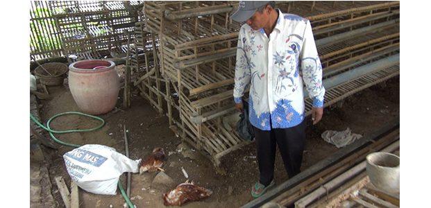 Ribuan Ayam dan Bebek Petelur di  Saronggi Sumenep Mati Mendadak