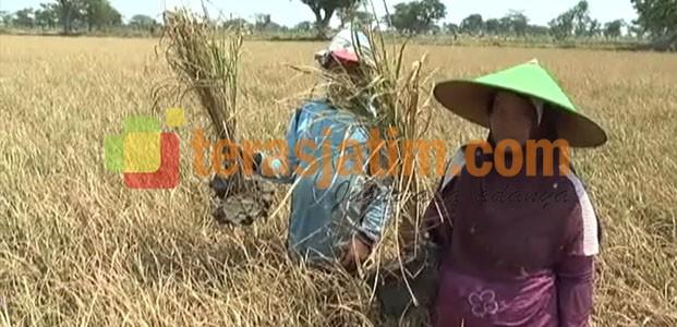 Ribuan Hektare Tanaman Padi di Lamongan, Terancam Gagal Panen
