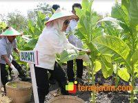 Semangati Petani Tembakau, Bupati Bojonegoro Gelar Kegiatan Panen Raya di Jipo