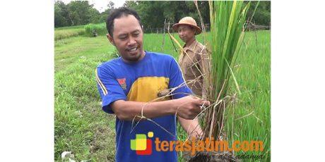 Puluhan Hektar Padi di 3 Wilayah Kecamatan di Blitar, Diserang Wereng Coklat