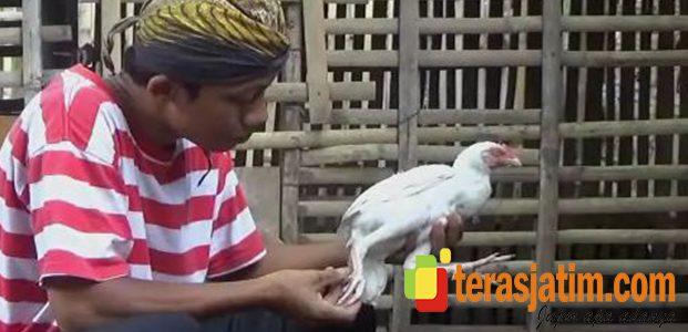 Ayam Berjari Kaki Sepuluh