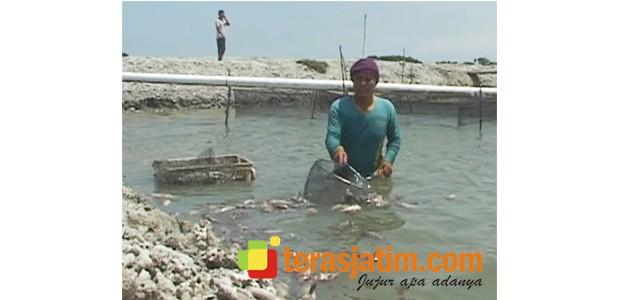 Kebijakan Moratorium Kapal Asing Disoal Petani Tambak Ikan Kerapu di Lamongan
